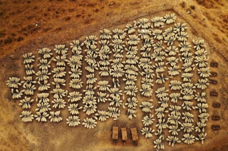 O turmă de 1.500 de oi în nordul Israelului YOEL ROBERT ASSIAG