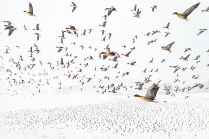 Mii de gâște cu picioare roz călătoresc din centrul Norvegiei către zonele de reproducere de pe Svalbard, în Oceanul Arctic. Această imagine a fost câștigătoarea marelui premiu TERJE KOLAAS